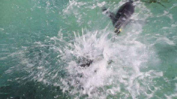 """モフモフすぎて泳げないヒナペンギン…バシャバシャと""""激しく""""水しぶきを飛ばす様子に「圧倒的浮力」「初心者のバタフライ」の声"""