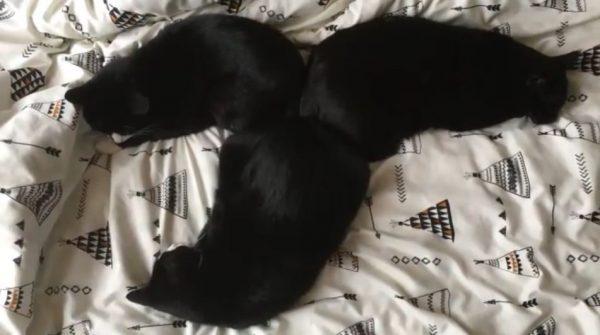 """これが猫…だと? 黒い毛皮をツヤめかせ、""""おしりを寄せ合い""""眠る猫たちに「キレイに三等分してるなw」の声"""