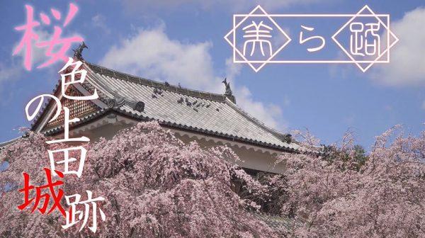 """桜色に染まる「上田城跡公園」に行ってきた! """"難攻不落の城""""を彩る美しい桜に「おぉーキレイ」「良い雰囲気!」の声"""