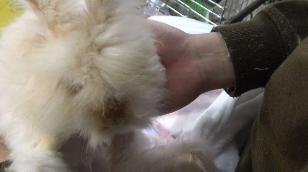 アンゴラウサギのブラッシング…ブラシ前のモッフモフのぬいぐるみのような姿に「前後がわからんかったw」の声