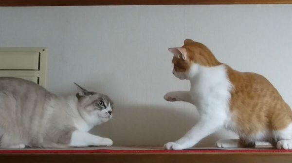 グイグイ迫る子猫VSビビる先輩猫…熱い視線から目を逸らすシロちゃんに「猫見知りなんやな」「無邪気で天然は最強」の声