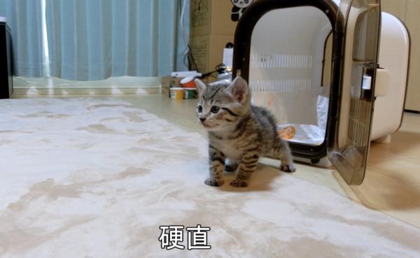 """生後一ヶ月の子猫をお迎えしてみた! 初めてケージから出てくる瞬間のオドオド顔が""""可愛い""""で表現できるレベルを超えてしまっている件"""