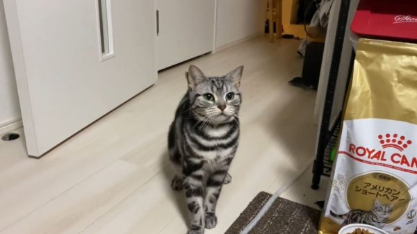 おもちゃを投げると猫ちゃんが持ってくる…目をキラキラさせて遊ぶ姿に「なんとかわいい」「うちの犬より犬してる」の声