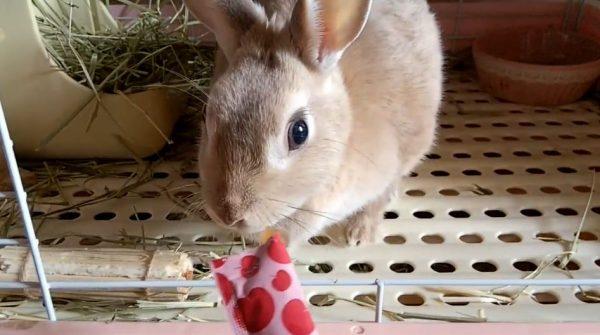 """ウサギも""""ちゅ~る""""の魅力には抗えない⁉ 警戒しながらも止まらないウサちゃんの食欲に「超反応w」「かわいいな」の声"""