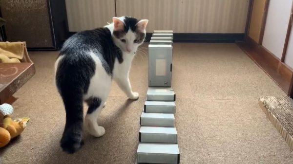 猫氏、ドミノ倒しに目覚める…? なんど立て直しても倒しにやってくる様子がかわいい件