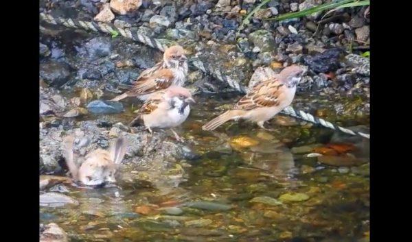 スズメの水浴びをスロー撮影…肉眼では中々見れないスズメたちの姿に「めちゃくちゃカワイイな」の声