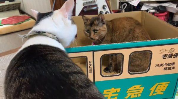 """「くやしいニャー!」""""体型の問題""""で箱に入れなかった猫氏、スリムな猫ちゃんに八つ当たりするも…負ける!"""