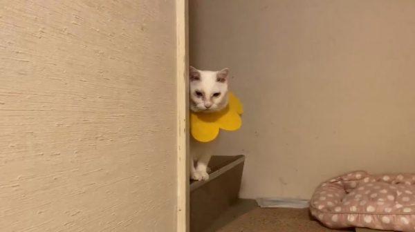 「私が遊んでもらう順番はまだですかニャ」甘えたい猫がジト目でプレッシャーをかけてくる姿に「拗ねかたカワイイなw」の声
