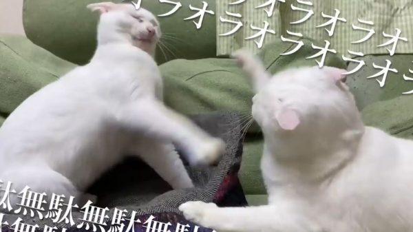 """威勢はいいけれど届かない猫パンチ…""""目を閉じたまま""""絶妙な距離感で戦う猫ちゃんに「これがソーシャルディスタンス」の声"""