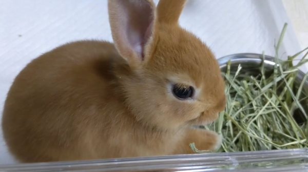 ピータラビットみたい…子ウサギがはじめてのおうちに少しずつ慣れる様子へ「癒される~!」「可愛いすぎかよ」の声