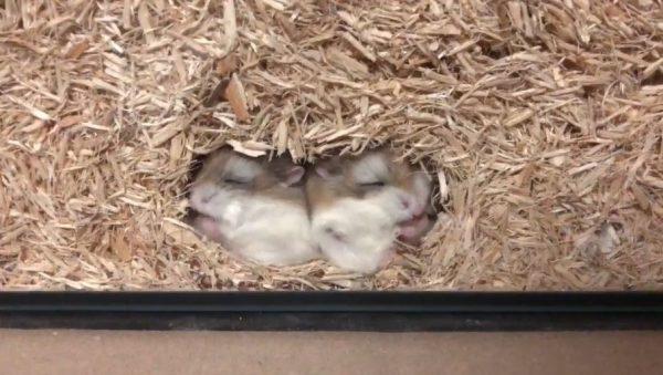 眠りながら食べるハムスター…干し草に埋もれてモグモグするロボロフスキー様に「ああああ」「可愛い!」の絶叫集まる