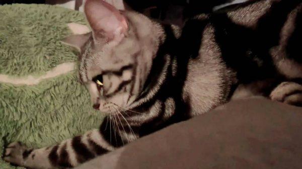 """エクストリームな""""ふみふみ""""を見せる猫…ベッドの上から地面のぬいぐるみを熱心に揉み込む職人の姿勢に思わず「おつでした」"""