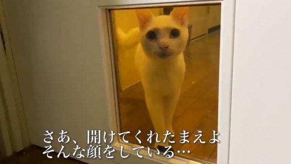 """猫様、""""猫用ドア""""を飼い主に開けさせるVIP待遇を要求…? 慣れない扉に戸惑うニャンコ、可愛すぎんか"""