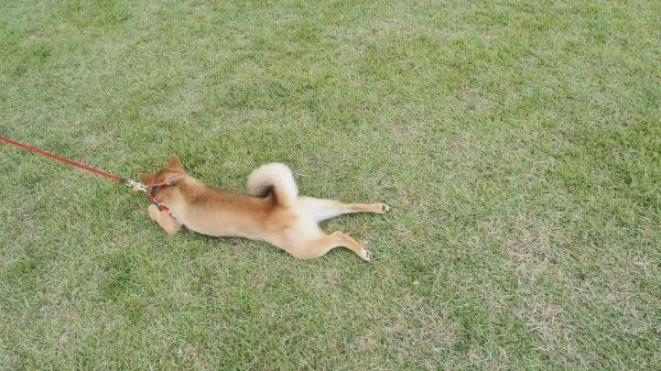 柴犬をドッグランで遊ばせすぎた結果…「帰りたくない~!」と全身で抵抗する事案が発生