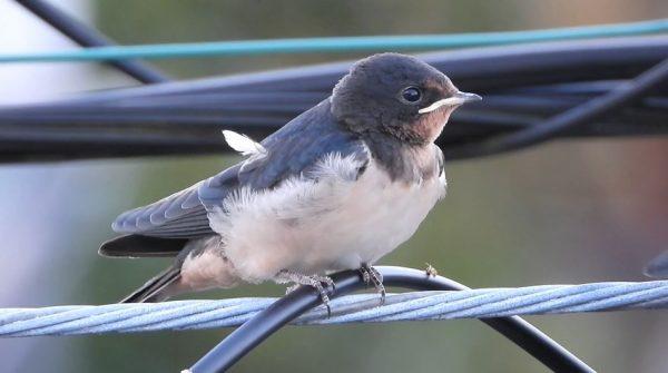 """窓を開けたら""""ツバメのヒナ""""がいた…フワフワの羽毛とピコッと飛び出した羽根が可愛い"""