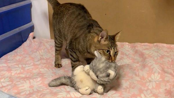 ぬいぐるみハンターの猫…次々とぬいぐるみを捕獲する猫ちゃんの腕前に「うまいw」「さすが猫」の声