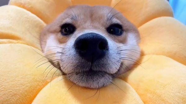 """柴犬がライオンと化した""""ポン・デ・柴""""が爆誕…あまりのハマりぶりに「なにこれかわいい」の声沸き起こる"""