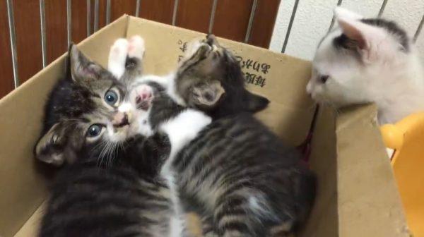 """猫の""""鉄板アイテム""""といえば…ダンボール! 遊んでヨシ寝てヨシと、大人猫も子猫も夢中になる姿へ「俺もいっしょに遊びたい」の声"""