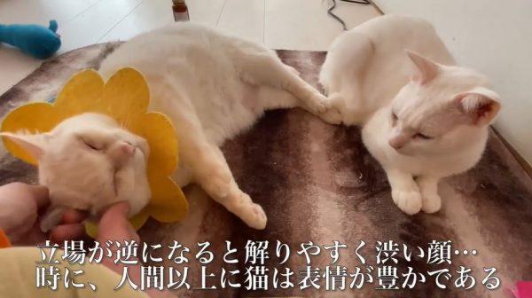 """甘えん坊の猫様たち…""""ゴキゲン顔""""と順番待ちの""""渋い表情""""の対比に「見せつけてやがるw」「耐えてらっしゃるw」の声"""