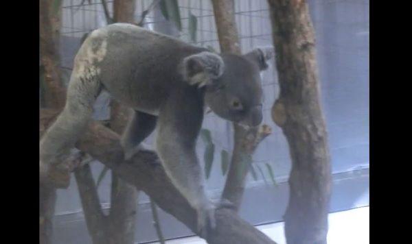 """コアラってこんなに""""ウロウロ""""歩くの⁉ 多摩動物公園へ行ったら、動き回るコアラに夢中になってしまった"""