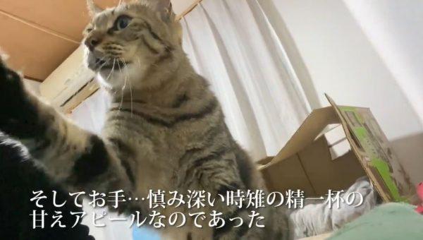 """""""甘え方が犬""""な猫ちゃん…「わお~ん」の鳴き声に、お座り&お手を繰り出し「かわいい」「どこで覚えたんだろうな」の声"""