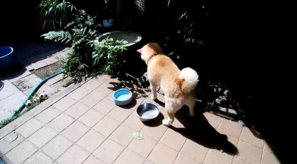 虫を狙う柴犬… ひたすらタイミングを待つも、結局取り逃がした表情に「この残念感」「顔w」の声