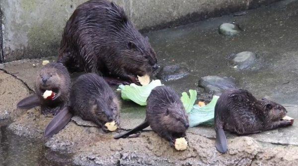 ちびビーバーが並んでモグモグモグ…ビーバー家族のお食事タイムに「小さい子初めて見たかも。可愛い!」の声