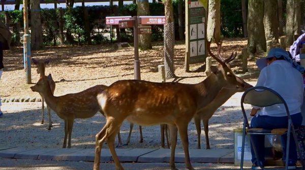 奈良公園へ行ってきた… 鹿せんべいを売るおばちゃんに甘える鹿へ「あらかわいい」「癒し」の声
