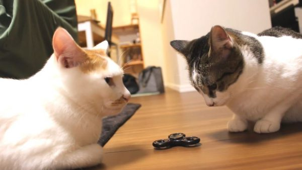 猫たちにハンドスピナーを見せてみた…興味津々で回して遊びはじめた様子に「使い方合ってる」「可愛い!」の声