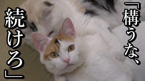 三毛猫ばかりの猫カフェ「三毛猫茶屋」に行ってきた! お腹を見せつけたり、自らオモチャを持ってくる甘えん坊ぶりに「たまらん」「かわいい」の声