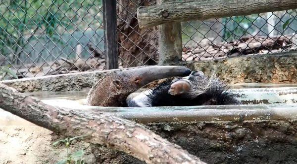 """東山動植物園のオオアリクイの入浴シーン…""""恍惚の表情""""で水を浴びる姿に「野生のかけらもねえな」「かわいい」の声"""