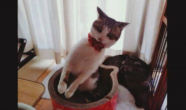 """首輪ギライの猫ちゃん… 何とか首輪を外そうと繰り出す""""謎ポーズ""""の連続に「かわいいのぅ」の声"""