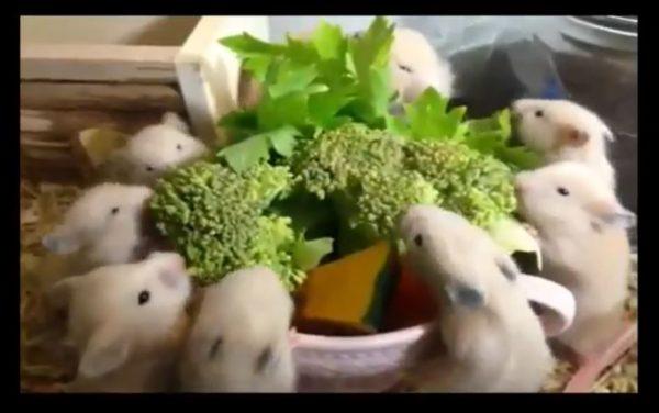 野菜に群がるハムスター親子…並んでモグモグする赤ちゃんハムスターに「かわいいw」「なごむなぁ」の声