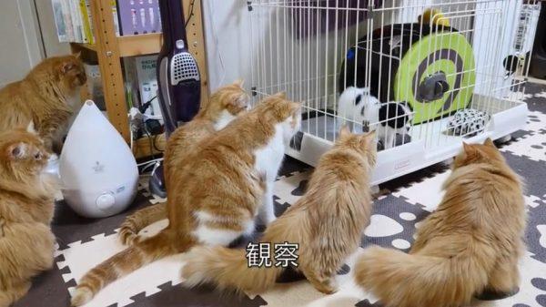 子犬に初めて会った猫一家の反応…どんどん集まるマンチカンズに「めっちゃ見とるw」「多いなw」の声