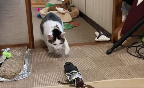ビビリの猫、折りたたみ傘との戦いに挑む! ソロリソロリと慎重に動く猫ちゃんへ「細心の注意w」「かわいい」の声