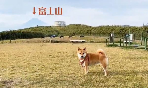 """柴犬が""""富士山の見える""""ドッグランで全力で遊ぶ! 開放的な景色の中、嬉し気にボールを咥える表情に「にっこりしてて可愛い」の声"""