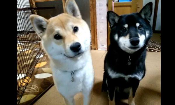 お父さんの「おすわり」に一発で反応する柴犬…お母さんには「今なんて?」と首をかしげ「この顔w」「かわいい!」の声
