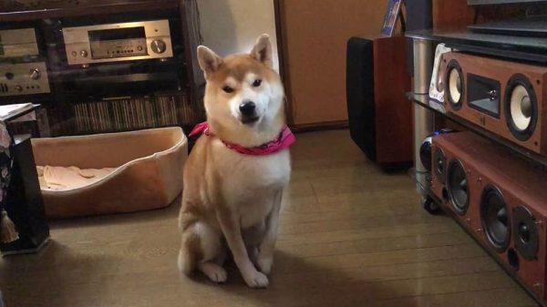 柴犬「オモチャ取ってもらえませんか…」瞳で語りかけてくる豊かな表情アピールに「すごく人間味ある」の声