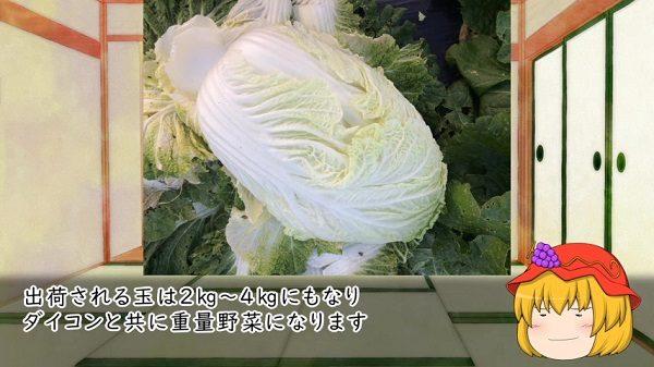 """冬のお鍋の欠かせない""""白菜""""は明治に中国からやってきた? 現在のポピュラーな「円筒型」に品種改良されるまでの歴史を紹介してみた"""