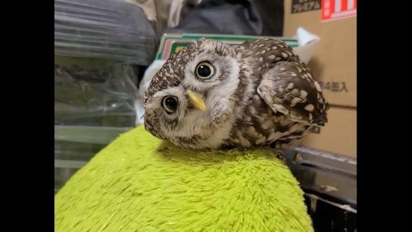フクロウさんがこっちを見る… つぶらな瞳のあまりの可愛さに「ヌイグルミみたいだ」「これはあざといw」の声
