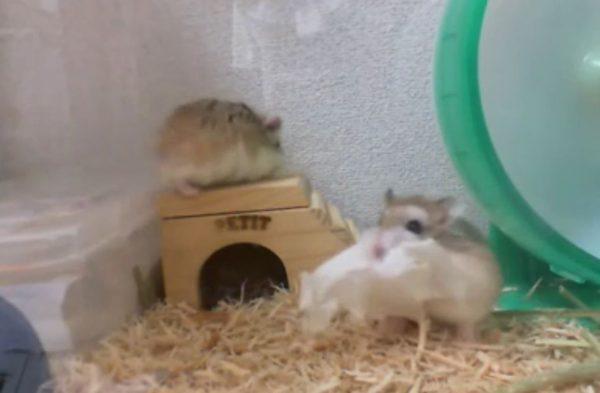 ハムスターの姉妹がトイレ用砂場へ引っ越しを計画! 巣材まで用意するも阻止されてご立腹の様子に「これはw」「こらw」の声