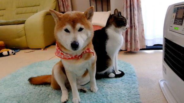 """柴犬と猫がヒーター前で場所取り合戦…仲良く""""半分こ""""に落ち着き「しあわせそう」「ああかわいい」の声"""