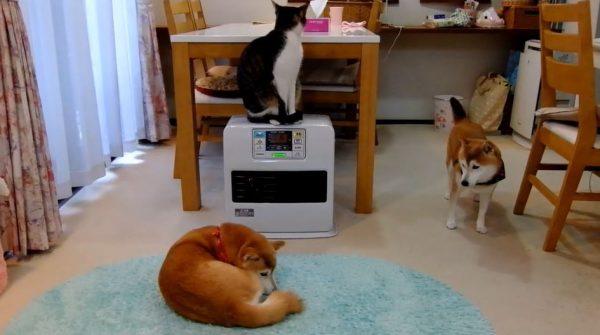 仲間に入れなくてモジモジする柴犬…ヒーターで温まる猫と犬たちの関係に「どうしたw」「皆かわええなあ」の声