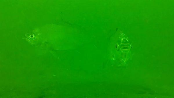 相模湾の「筏釣り」で水中カメラを沈めてみた! 水深10メートルの魚たちの様子に「メンチ切ってるw」「好奇心旺盛だな」の声