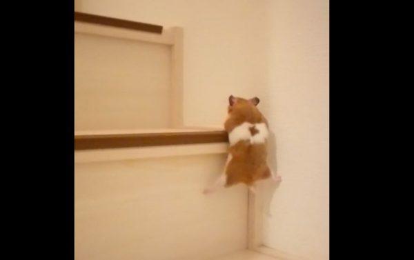 """ハムスターにもこんな個性が! """"階段上り""""のプロVS素人…駆け抜けたり足を突っ張らせたりするハムたちに「がんばれえええ」の歓声"""