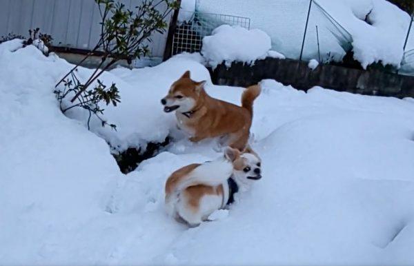 積もった雪にはしゃぐ柴犬&チワワ…庭を駆け回る2匹の姿に「何この幸せな絵面」「楽しそうでなにより」の声
