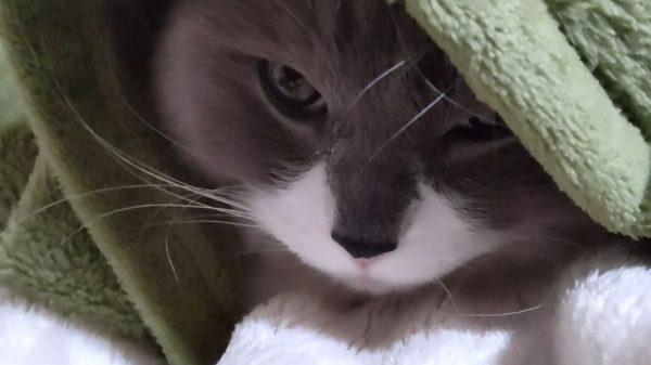 """猫、なにしてもかわいいな…毛布から""""飛び出してくると思いきや戻る""""フェイント技に「おやすみ」の声"""
