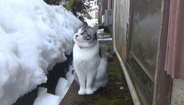 """""""雪かき""""が気になって仕方ない猫、家の中から飛び出してしまう。積もる雪に興味津々の表情へ「たまらなくかわええ」の声"""