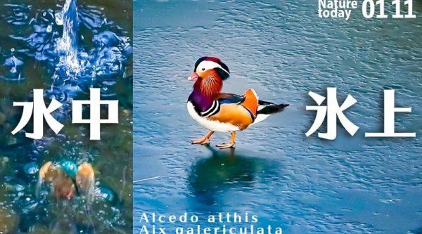 氷の上を歩くオシドリや、何十回も水に飛び込むカワセミ…貴重な鳥たちの姿に「初めて見たw」「飛び込み祭り」の声