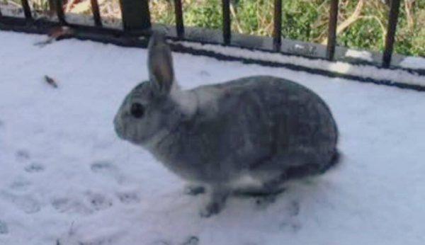 ウサギに雪を見せてみた! はしゃいで増えていく足跡に「冷たくない?」「かわいすぎるw」の声
